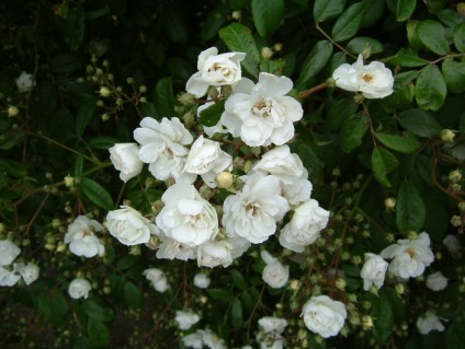 Rambling Rector 6x4.5m.